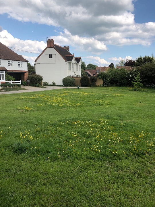 buttercups on grass verge